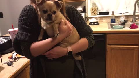 Tiny dog freaks out over noise coming from fridge.