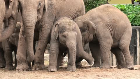 Elephant Baby Battles Herd To Get Mom's Milk