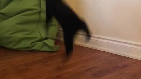 Cat does some crazy jumps and flips while playing