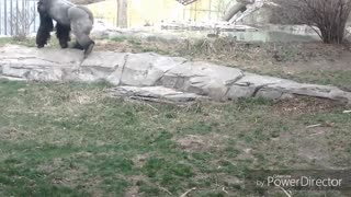When Gorillas Use Teamwork!! Doubled Down On Us!!