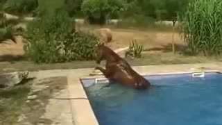 Watch This Horse Take A Swim In Someones Backyard Pool!! - Video