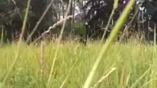 Black dog jumps from tall grass into camera - Video