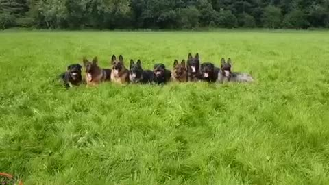 Nine well disciplined dogs excitedly rush trainer
