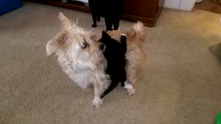 A Kitten Rides Atop a Dog's Back - Video