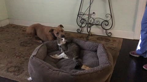 Pit Bull fails to reclaim bed from 18-year-old cat
