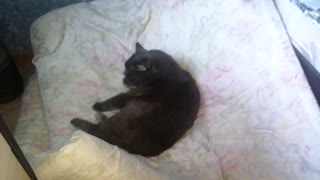The cat has settled on others bed all over  - Video