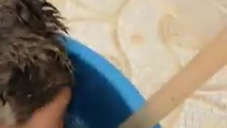 Guinea pig taking a bath  - Video