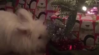 Bunny wants Christmas presents  - Video
