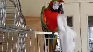 Hygienic Parrot Uses A Towel To Clean Its Beak - Video