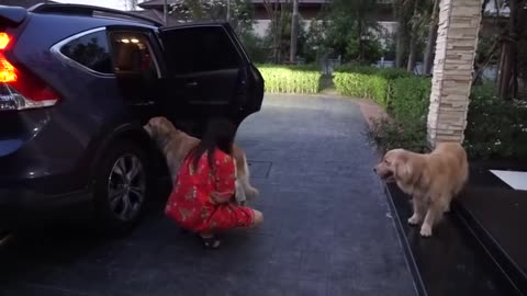 Three Golden's Line Up For A Car Ride. Now Keep Your Eye On Their Paws!