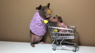 Father-daughter guinea pigs go grocery shopping - Video