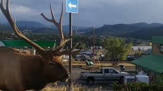 Huge Bull Elk Strolls Down the Street