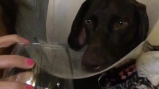 Girl drinking wine and black dog with cone - Video