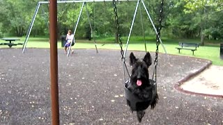Yorkie Dog Loves Swinging At The Park - Video