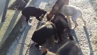 Nine puppies in one litter! - Video