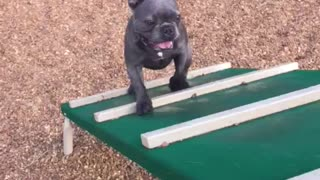 French Bulldog conquers obstacle course for treats