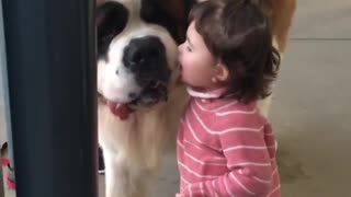 A baby kissing a Saint Bernard will make you smile!