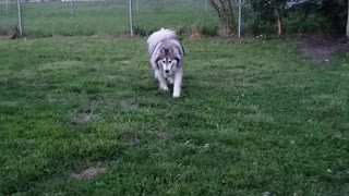 Awesome Husky Playtime - Video
