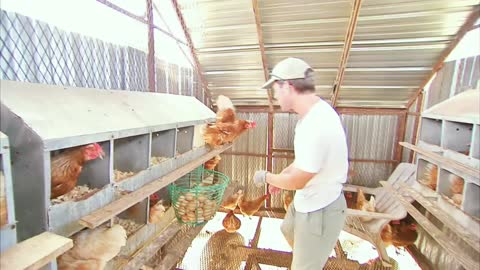 Guy Collects Eggs In Funny Chicken farm