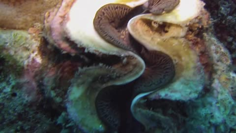 Scuba diver comes across extremely massive clam