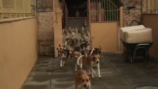 A Tiny Pooch Leads An Epic Stampede Of Hunting Dogs
