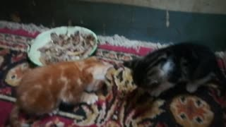 Little Twins Kitties Eat Chicken Bones For First Time