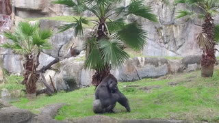 Incredible Trainer Teaches Gorilla How to Do Handstand