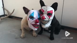 Dogs wearing clown masks - Video