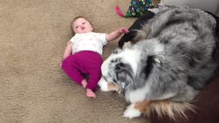 Australian Shepherd preciously licks baby's feet - Video