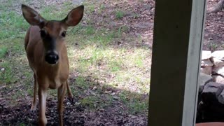 Wild deer visit caretaker every single day