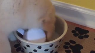 Puppy lets nothing get in the way of meal time - Video