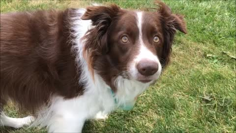 Border Collie answers owners questions by nodding head