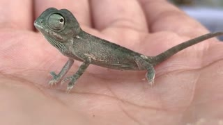 Young Chameleon - Video