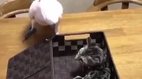 Bird Plays the box game and cat got out