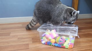 Raccoon tries to find snacks in the toy box.