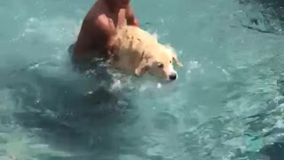 Scared labrador carried into pool