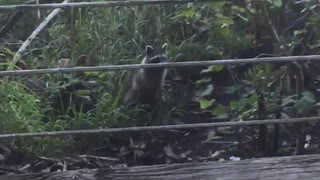 Racoon looking at girl while she is eating - Video