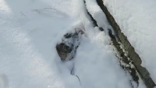 Pet bunny loves to dive in the snow - Video