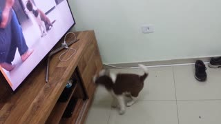 Border collie cute puppy - Video