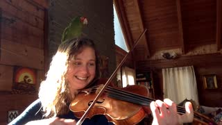 Parrot flies onto violinist's head and sings along