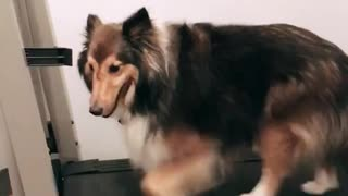 Brown dog walks on a treadmill  - Video