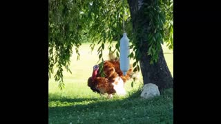 Turkey Lurkey Lurking!  - Video