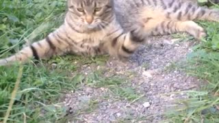 Grey cat on trail fights with piece of hay - Video