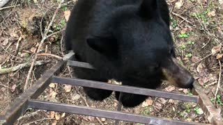 Curious Black Bear Climbs Ladder