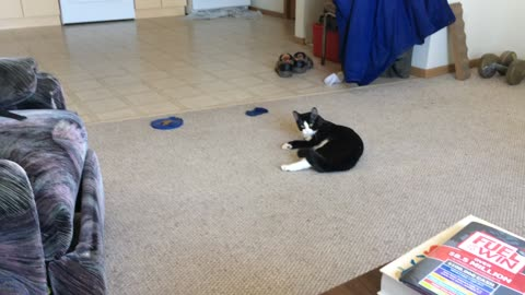 Cat Drags Himself Across Floor Chasing Dog