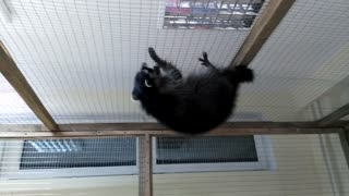 Raccoon on the ceiling  - Video