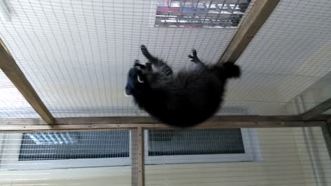Raccoon on the ceiling