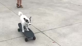White chihuahua rides skateboard down driveway - Video
