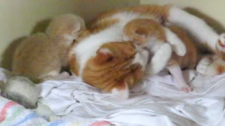 Mother cat hugs her precious kittens - Video