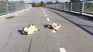 Why are these dogs rolling around on a bridge? - Video